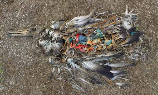 Albatross dies from ingesting too much plastic