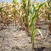 Stalk of Corn in dry ground