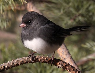 Junco (one in comments)