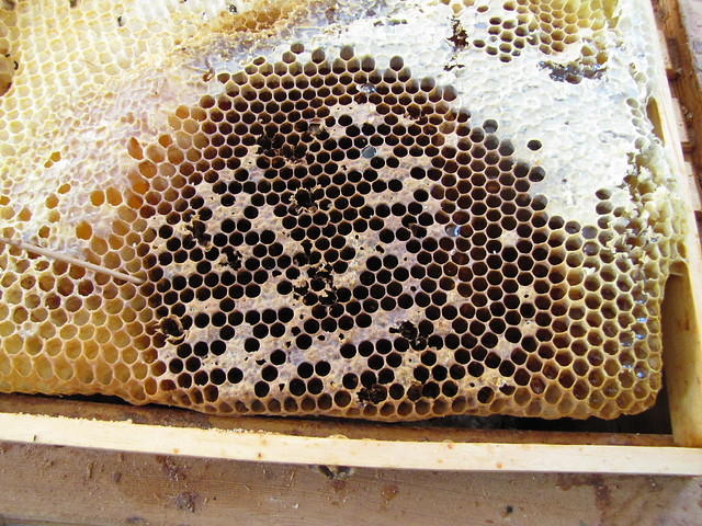 AFB infected comb showing perforated brood cells and a spoty brood pattern