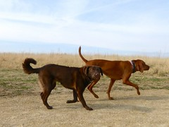 dogue de bordeaux(0.0), tosa(0.0), rhodesian ridgeback(0.0), dog breed(1.0), animal(1.0), broholmer(1.0), dog(1.0), bavarian mountain hound(1.0), redbone coonhound(1.0), pet(1.0), mammal(1.0), vizsla(1.0),