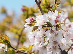 #桜 #札幌