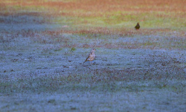 Mistle Thrush (113) Taken through the caravan window early  morning and can see the dew on the grass