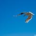 Seagull by Korneliussen
