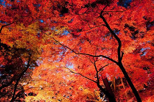 無料写真素材, 自然風景, 樹木, 紅葉・黄葉, カエデ・モミジ, 赤色・レッド, 風景  日本