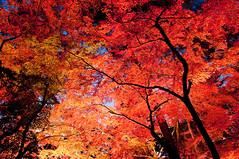 [フリー画像素材] 自然風景, 樹木, 紅葉・黄葉, カエデ・モミジ, 赤色・レッド, 風景 - 日本 ID:201112030600