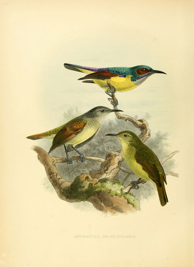 sketch in colour: trio of grey-throated sun-birds