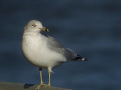 Ring-billed Gull, Dunkirk Harbor, NY