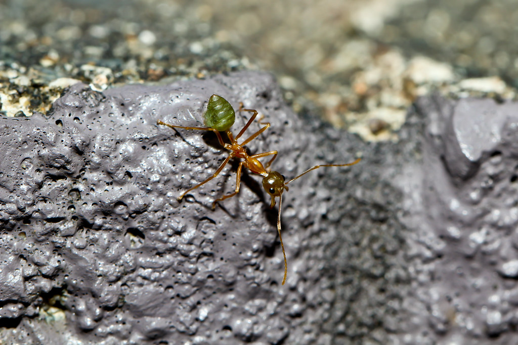Alien Life Form | Green Ant (Oecophylla smaragdina