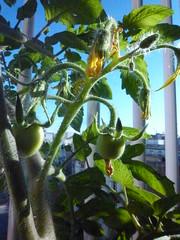 Tomatera variedad pera con frutos