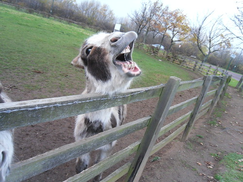 Singing donkey practising his scales