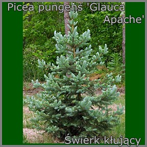 Picea pungens 'Glauca Apache' - Świerk kłujący