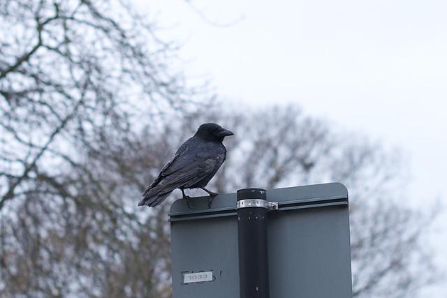 crow back side