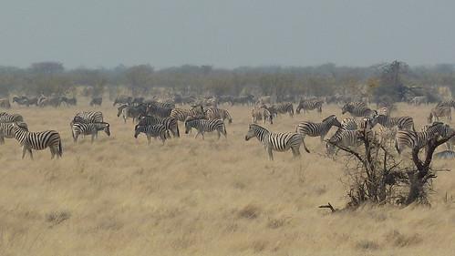 Zebras!!
