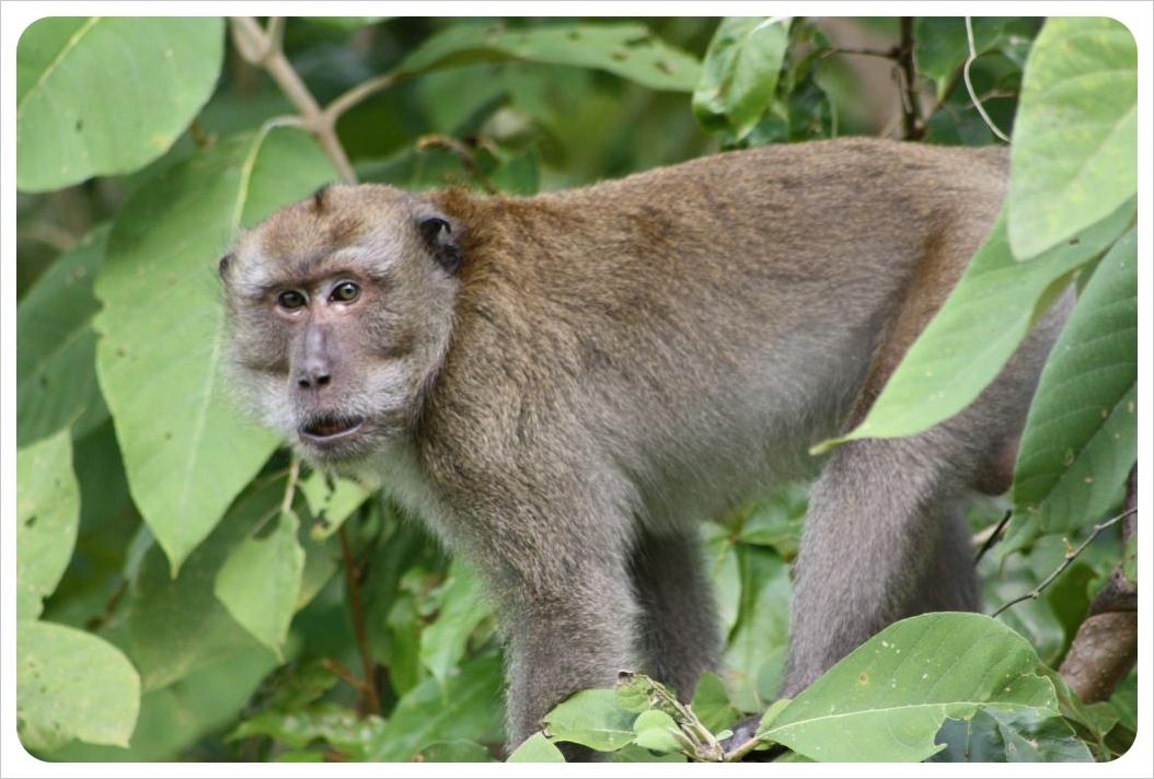 monkey chaw ka cher koh lanta