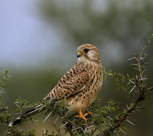 birds feathers raptor hessarghatta anawesomeshot colorphotoaward allofnatureswildlifelevel1