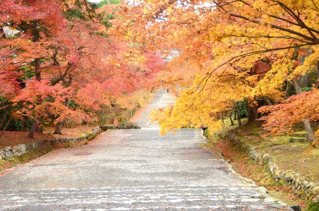 Japanese maple #11