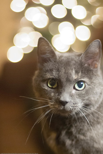 Fluffy with Christmas light bokeh