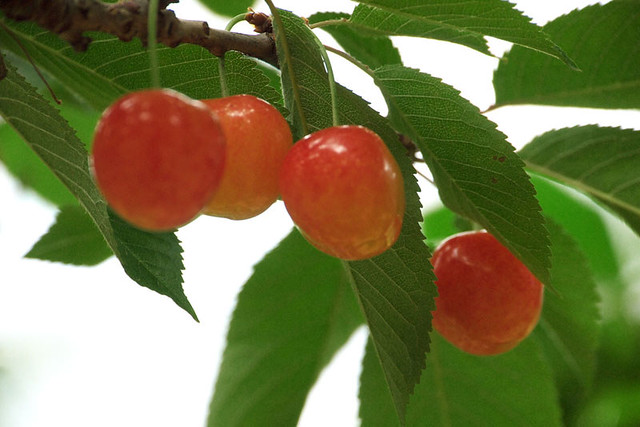 110626_095735_EP2_MinamiAlpsCity_Yamanokajyuen_Cherry hunting