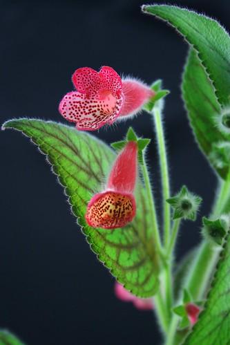 Kohleria Manchu flower detail