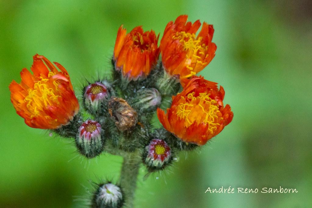 Devil's Paintbrush (Orange Hawkweed) (Hieracium aurantiacum) (Pilosella aurantiaca)-3.jpg