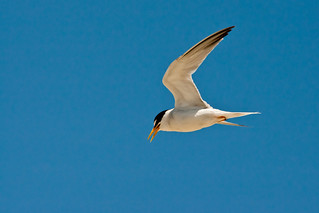 California Least tern adult | by USFWS Pacific Southwest Region