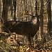 10-25-11: Shenandoah Deer