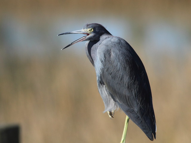 Little Blue Heron (Egretta caerulea ) 20111230