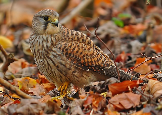 Kestrel Good