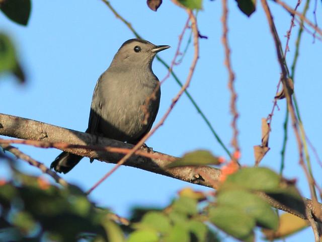 Gray Catbird 20120101