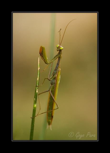 Depredador de insectos