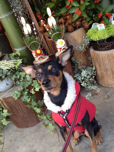 正月飾りの前の黒犬その1@ステラ