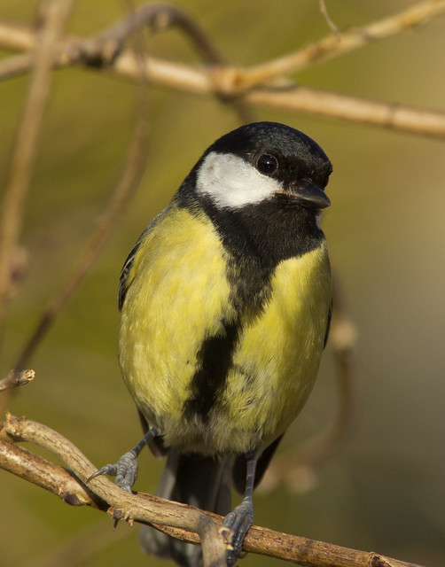great tit on twig 5