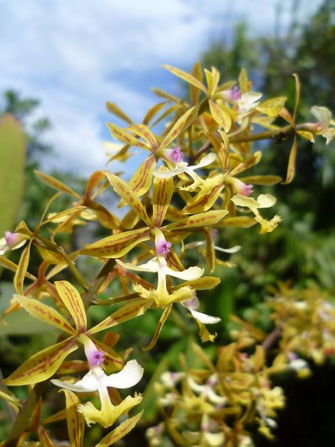 Epidendrum stamfordianum - 2012