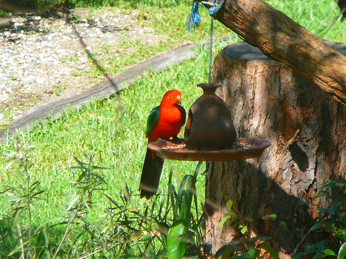 King Parrot, Wauchope