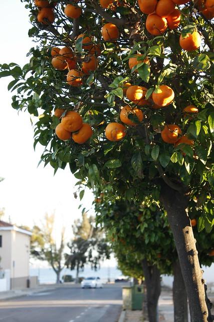 Naranjo en Ronda de Levante _MG_9140