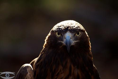 Carolina Raptor Center Golden Eagle