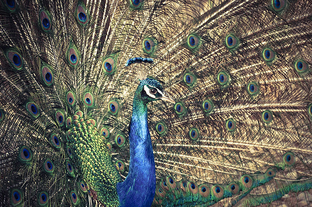 "Miss Peacock: ""Am I beautiful?"""