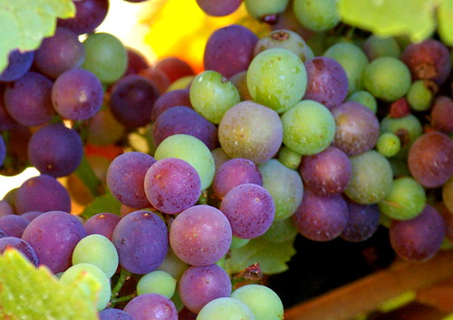 Veraison in the Pinot