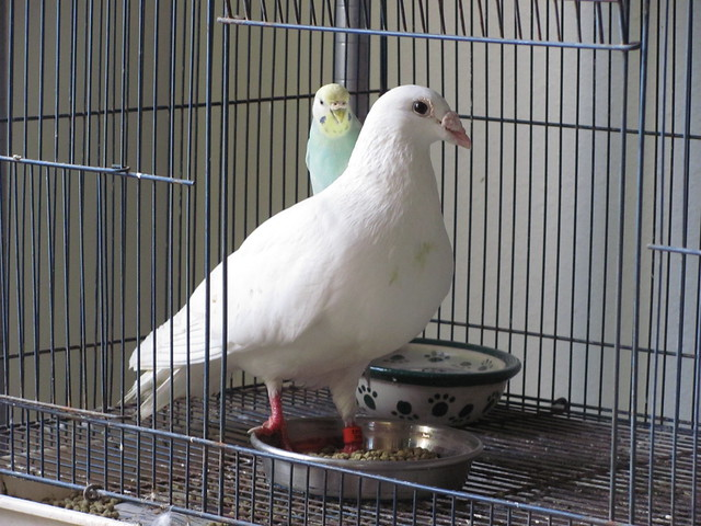 Pigeon and Budgie 04