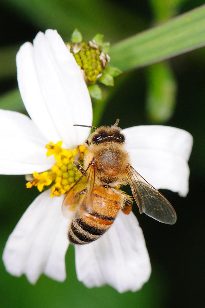 義大利蜂 Apis mellifera