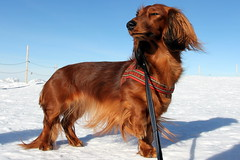 The highest dachshund in Europe