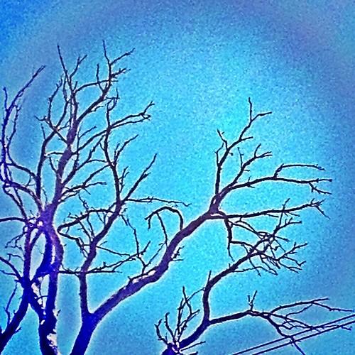 Die Back Gumtree
