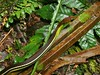 "<a href=""http://www.flickr.com/photos/berniedup/6730947203/"">Photo of Dendrelaphis formosus by BERNARD</a>"