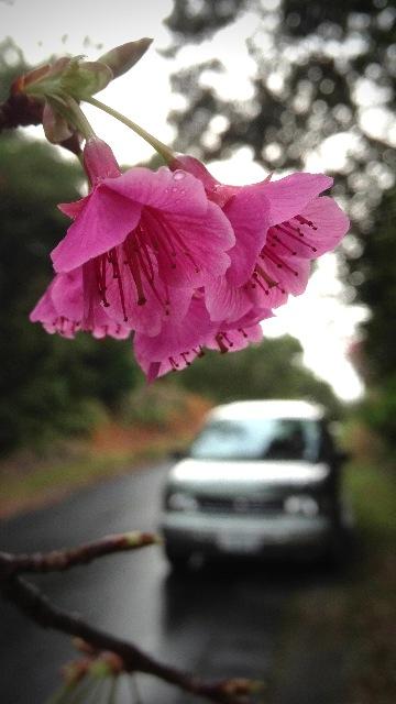 雨模様の山原路。雨粒が滴る桜