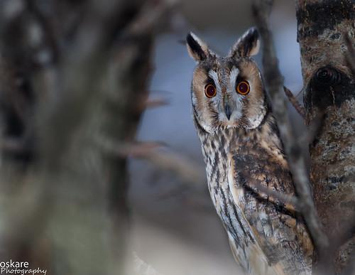 Eyrugla - Hornuggla - Long-eared Owl - Asio otus