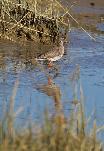 Redshank Pagham Harbour by Kinzler Pegwell