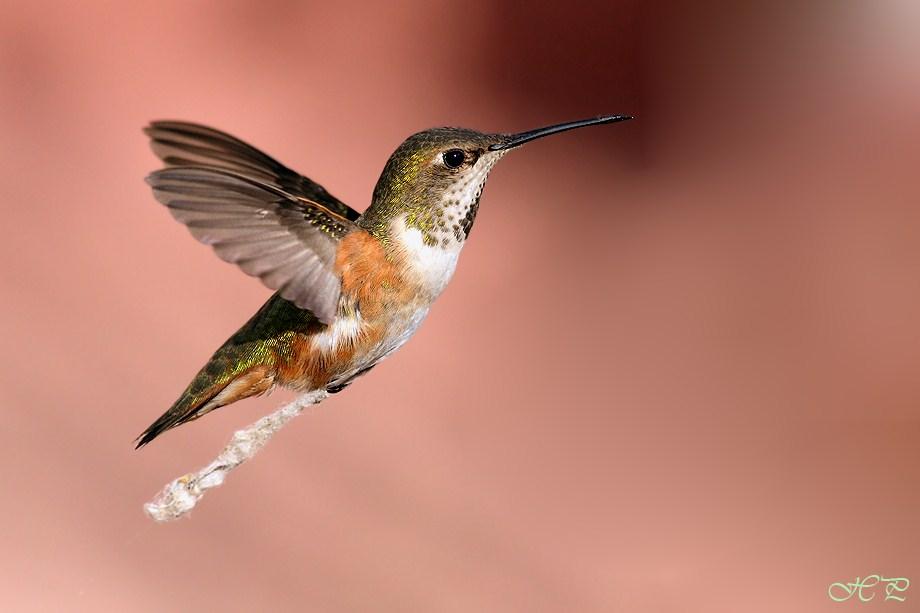 Allen's Hummingbird 020112