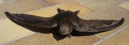 Rondone - swift