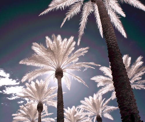 Infrared Palms #2 by jcbwalsh